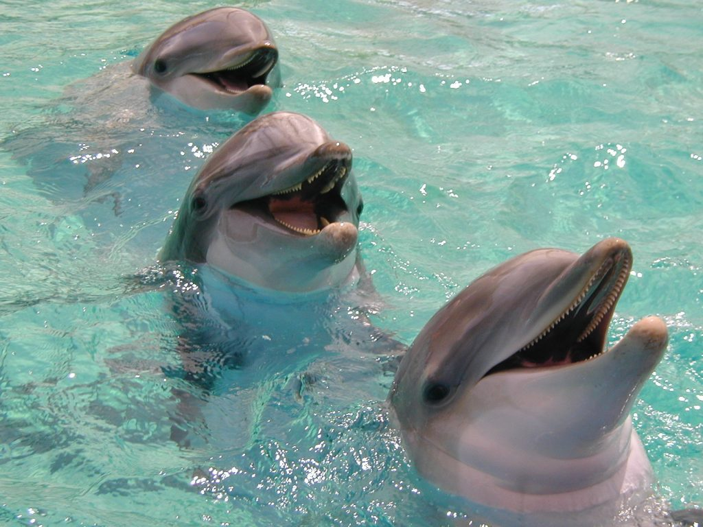 A set of Dolphins laughing at the crowd. Clear water.
